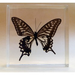 "REAL INSECT - INSETTO SOTTO RESINA ""FARFALLA"" R.2 BUTTERFLY PAPERWEIGHT  9x9 Cm"
