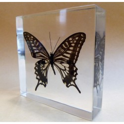 """REAL INSECT - INSETTO SOTTO RESINA """"FARFALLA"""" R.2 BUTTERFLY PAPERWEIGHT  9x9 Cm"""
