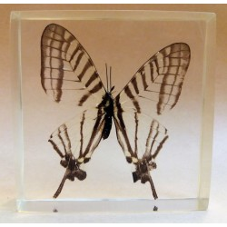 "REAL INSECT - INSETTO SOTTO RESINA ""FARFALLA"" R.10 BUTTERFLY PAPERWEIGHT  7x7 Cm"