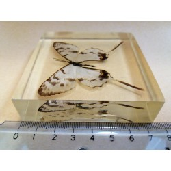 "REAL INSECT - INSETTO SOTTO RESINA ""FARFALLA"" R.13 BUTTERFLY PAPERWEIGHT  7x7 Cm"