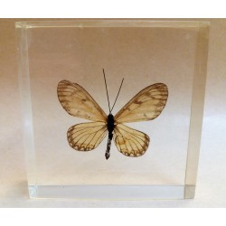 "REAL INSECT - INSETTO SOTTO RESINA ""FARFALLA"" R.8 BUTTERFLY PAPERWEIGHT  7x7 Cm"
