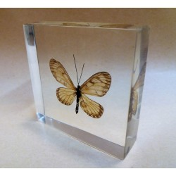 """REAL INSECT - INSETTO SOTTO RESINA """"FARFALLA"""" R.8 BUTTERFLY PAPERWEIGHT  7x7 Cm"""