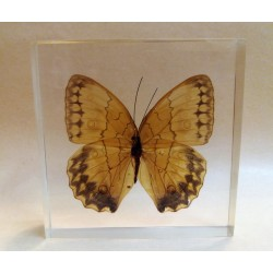 "REAL INSECT - INSETTO SOTTO RESINA ""FARFALLA"" R.3 BUTTERFLY PAPERWEIGHT  10x10 Cm"