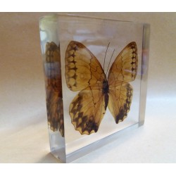 """REAL INSECT - INSETTO SOTTO RESINA """"FARFALLA"""" R.3 BUTTERFLY PAPERWEIGHT  10x10 Cm"""