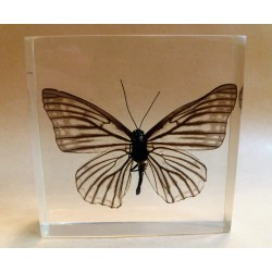 "REAL INSECT - INSETTO SOTTO RESINA ""FARFALLA"" R.5 BUTTERFLY PAPERWEIGHT  7x7 Cm"