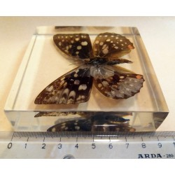 """REAL INSECT - INSETTO SOTTO RESINA """"FARFALLA"""" R.1 BUTTERFLY PAPERWEIGHT  9x9 Cm"""