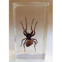 "REAL INSECT - INSETTO SOTTO RESINA ""SPIDER"" RAGNO PAPERWEIGHT 4x7 Cm"