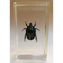 "REAL INSECT - INSETTO SOTTO RESINA ""SCARABEO"" CETONIA DORATA PAPERWEIGHT 4x7 Cm"