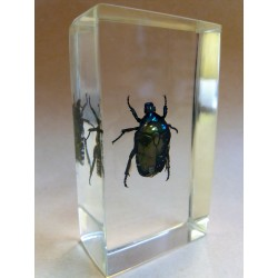 """REAL INSECT - INSETTO SOTTO RESINA """"SCARABEO"""" CETONIA DORATA PAPERWEIGHT 4x7 Cm"""
